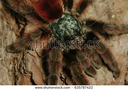 South American Cave Spider clipart #17, Download drawings