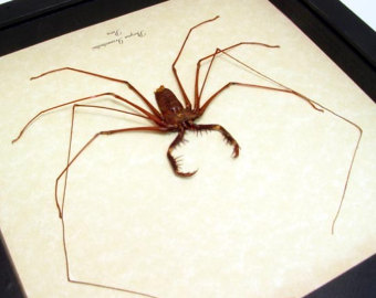 South American Cave Spider clipart #5, Download drawings