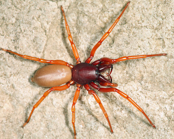 South American Cave Spider clipart #13, Download drawings