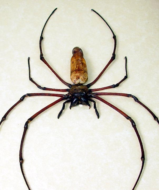 South American Cave Spider clipart #3, Download drawings
