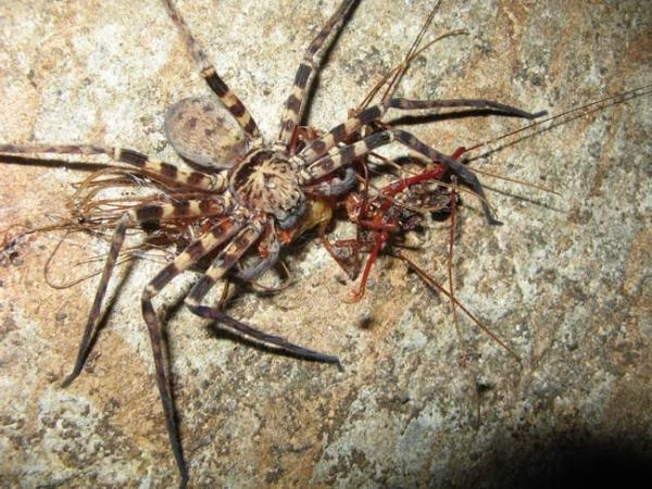 South American Cave Spider clipart #10, Download drawings