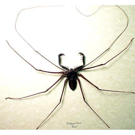 South American Cave Spider clipart #4, Download drawings