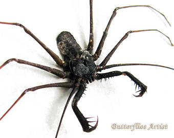 South American Cave Spider clipart #6, Download drawings