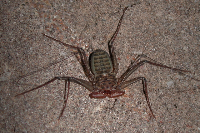South American Cave Spider clipart #8, Download drawings
