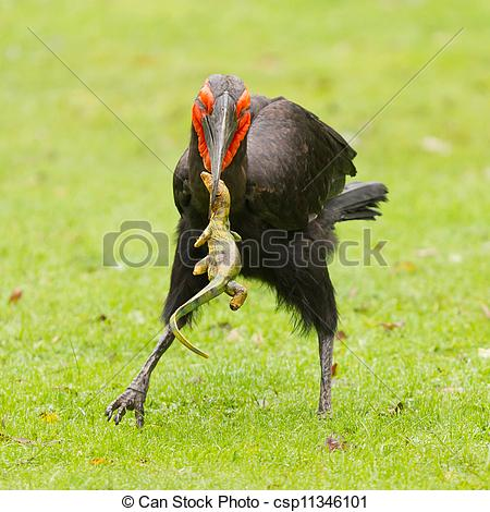 Southern Ground Hornbill clipart #4, Download drawings