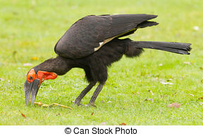 Southern Ground Hornbill clipart #15, Download drawings