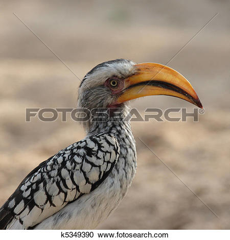 Southern Yellow-billed Hornbill clipart #15, Download drawings