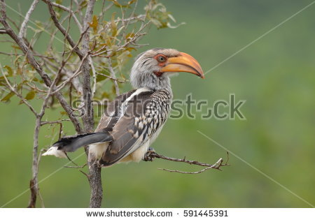 Southern Yellow-billed Hornbill clipart #12, Download drawings