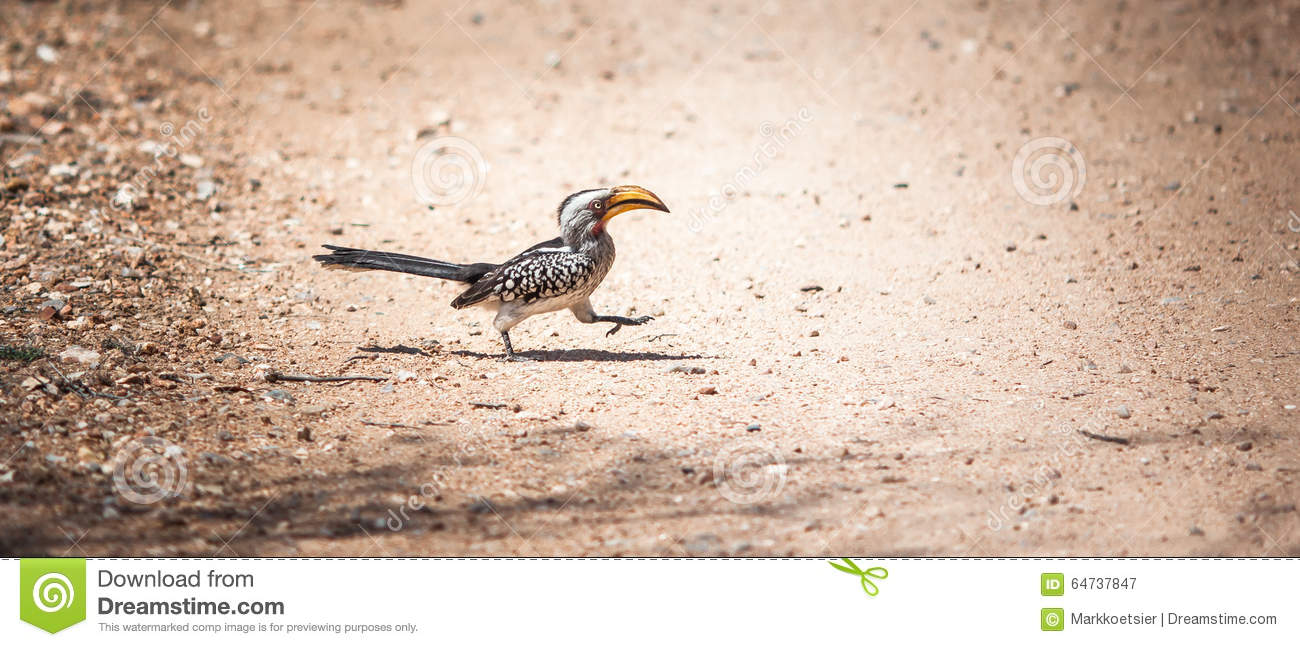 Southern Yellow-billed Hornbill clipart #13, Download drawings