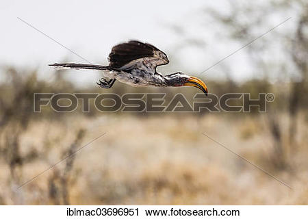Southern Yellow-billed Hornbill clipart #11, Download drawings