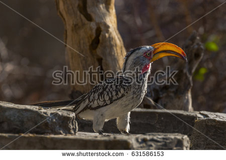 Southern Yellow-billed Hornbill clipart #5, Download drawings