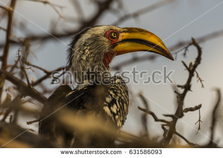 Southern Yellow-billed Hornbill clipart #3, Download drawings