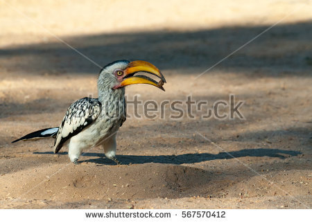 Southern Yellow-billed Hornbill clipart #8, Download drawings