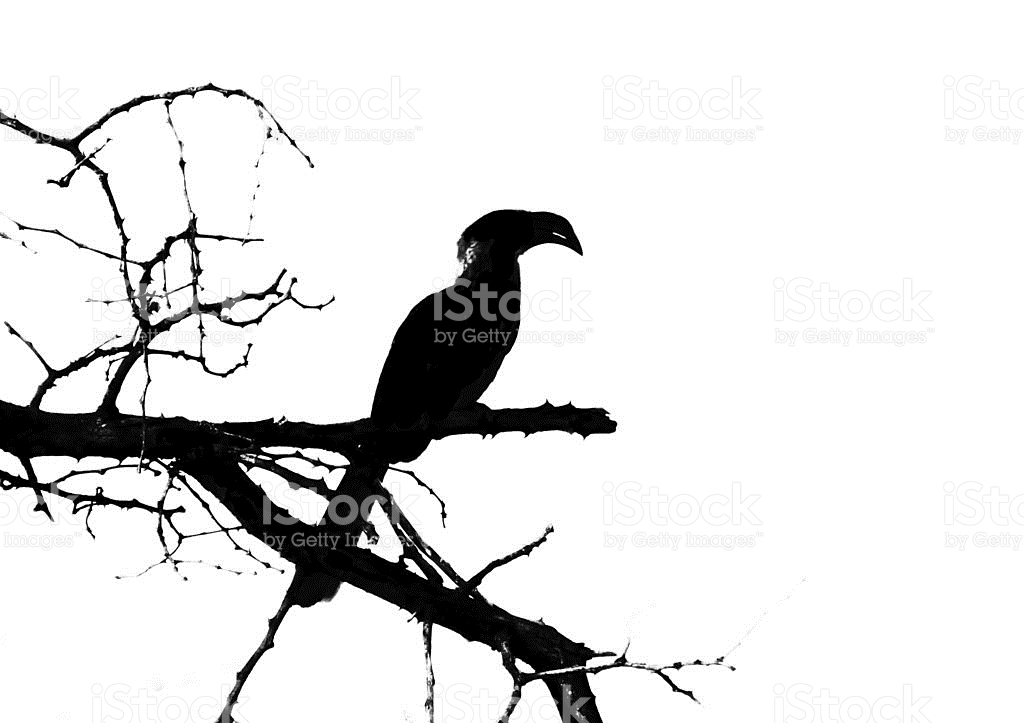 Southern Yellow-billed Hornbill clipart #10, Download drawings