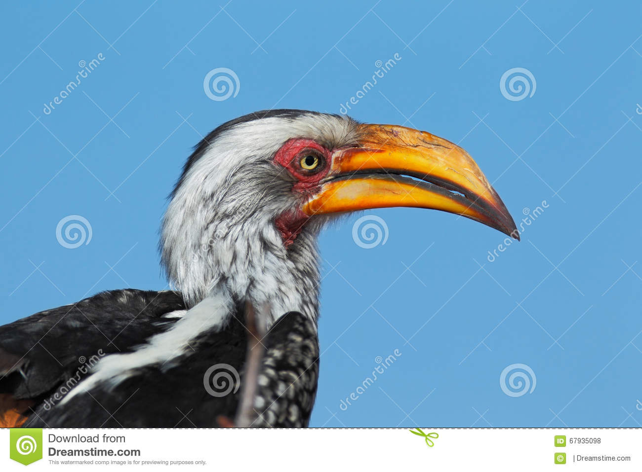 Southern Yellow-billed Hornbill clipart #7, Download drawings