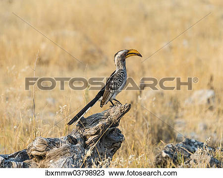 Southern Yellow-billed Hornbill clipart #19, Download drawings