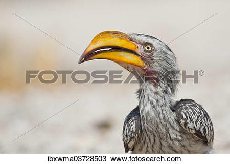 Southern Yellow-billed Hornbill clipart #20, Download drawings