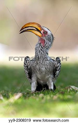 Southern Yellow-billed Hornbill clipart #18, Download drawings