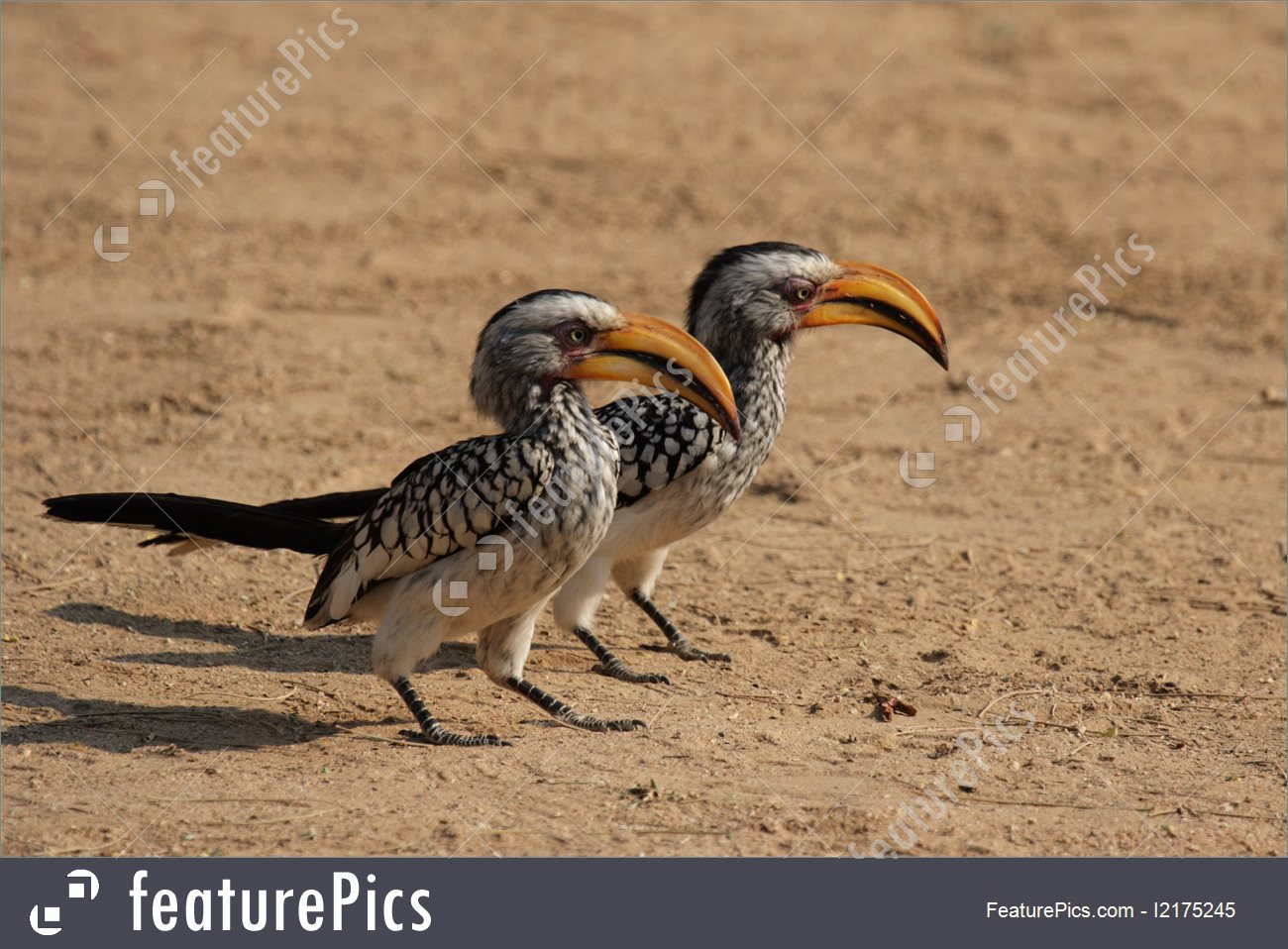Southern Yellow-billed Hornbill clipart #9, Download drawings