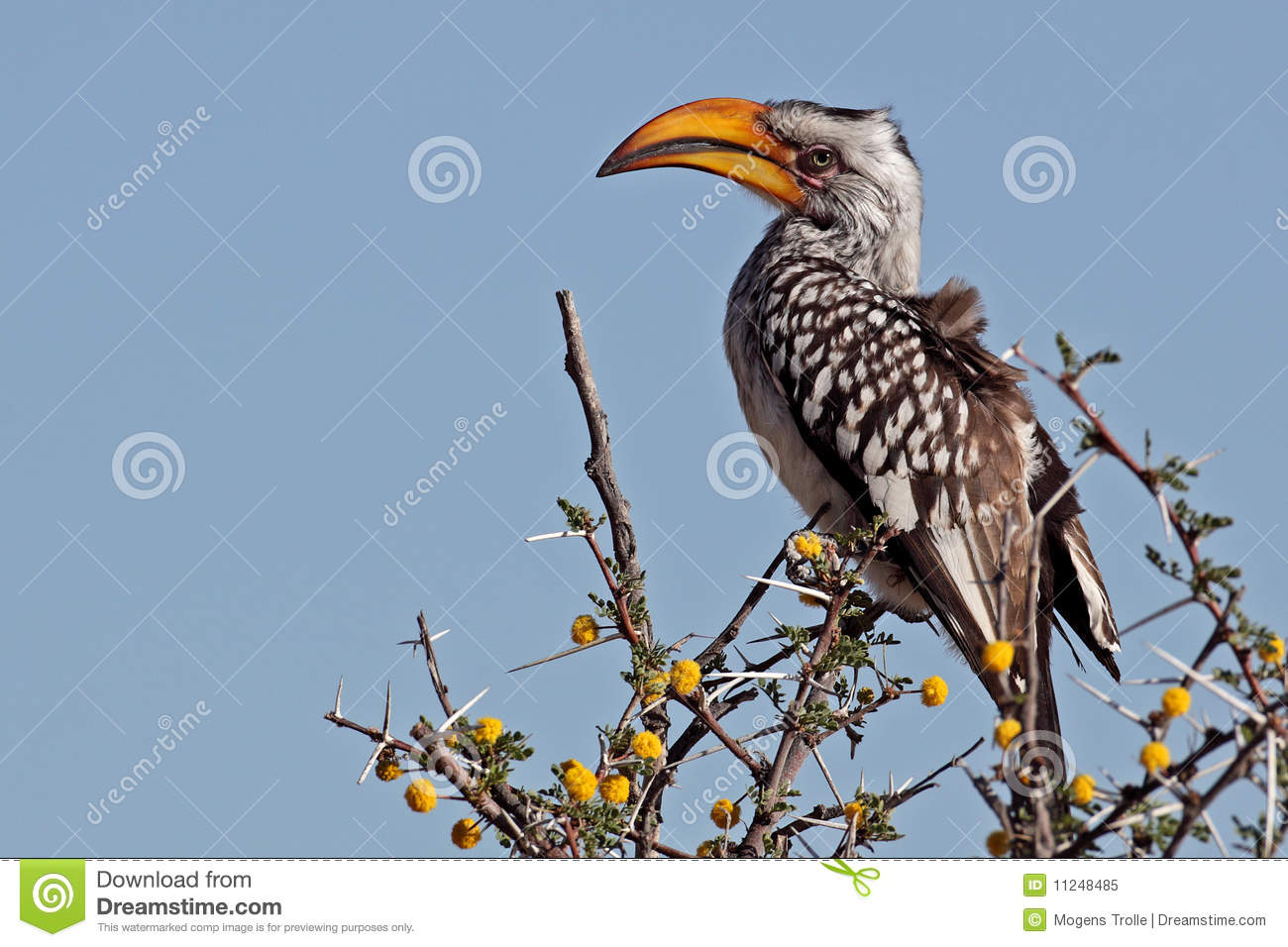 Southern Yellow-billed Hornbill clipart #17, Download drawings