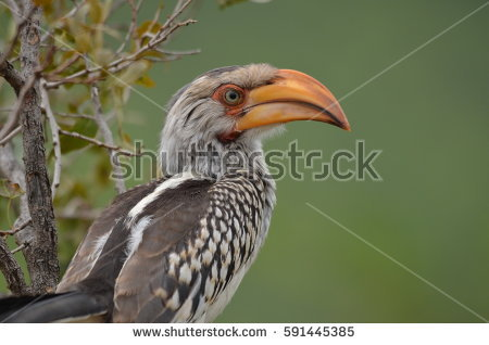Southern Yellow-billed Hornbill clipart #14, Download drawings