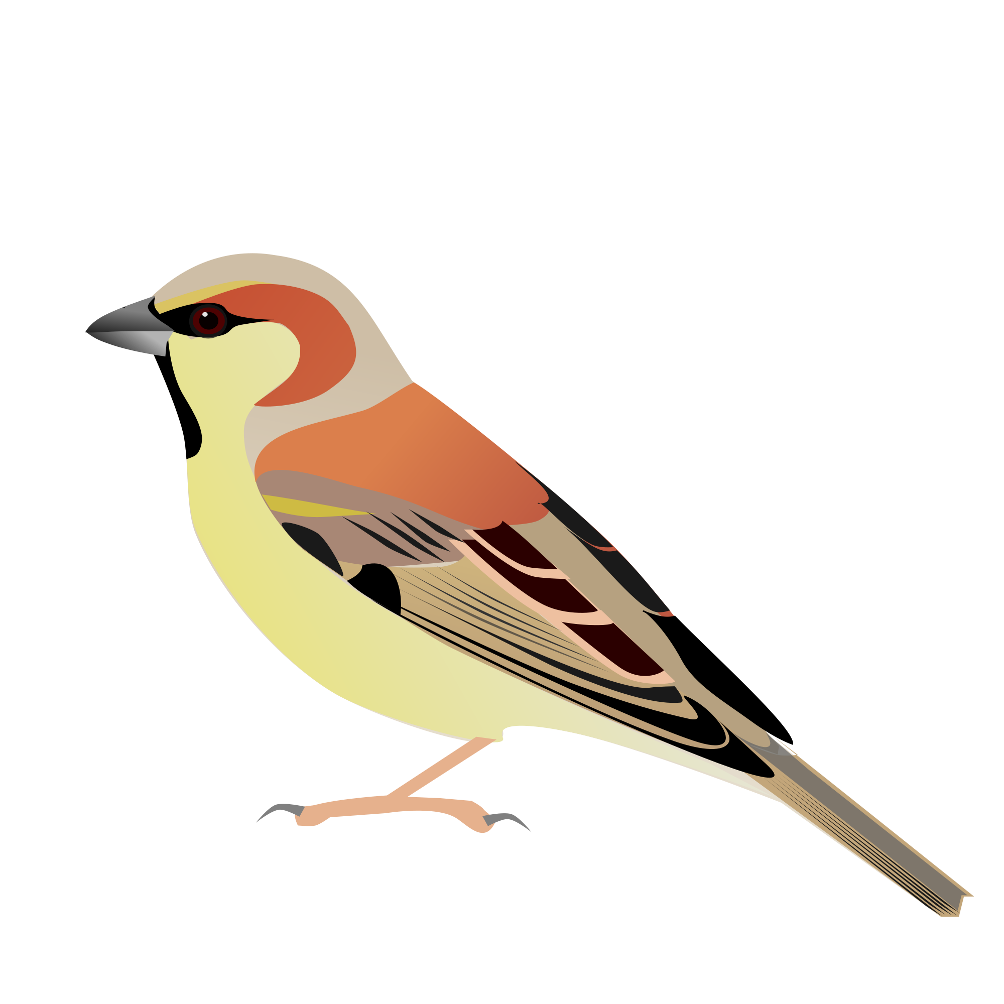 White-crowned Sparrow svg #13, Download drawings