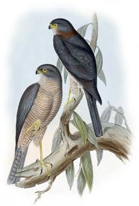 Sparrowhawk clipart #12, Download drawings