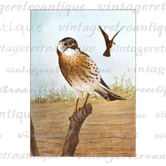 Sparrowhawk clipart #3, Download drawings