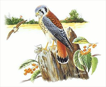 Sparrowhawk clipart #18, Download drawings