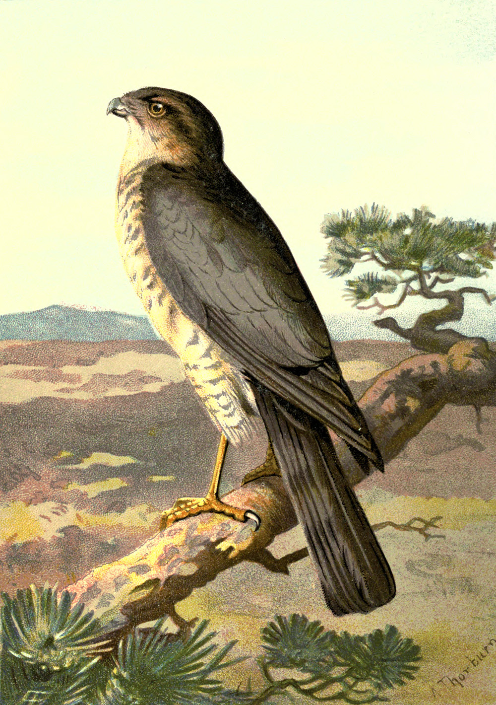 Sparrowhawk clipart #19, Download drawings