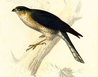Sparrowhawk clipart #2, Download drawings