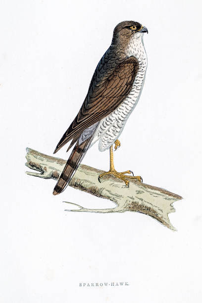 Sparrowhawk clipart #4, Download drawings