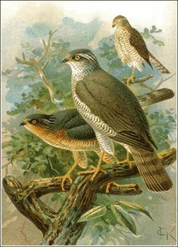 Sparrowhawk clipart #8, Download drawings