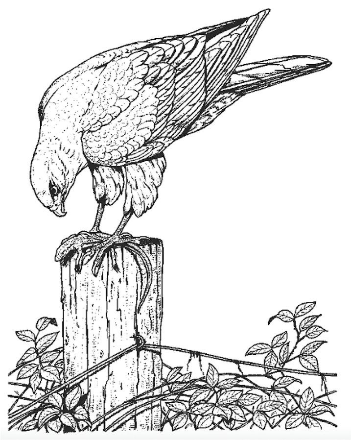 Sparrowhawk coloring #6, Download drawings