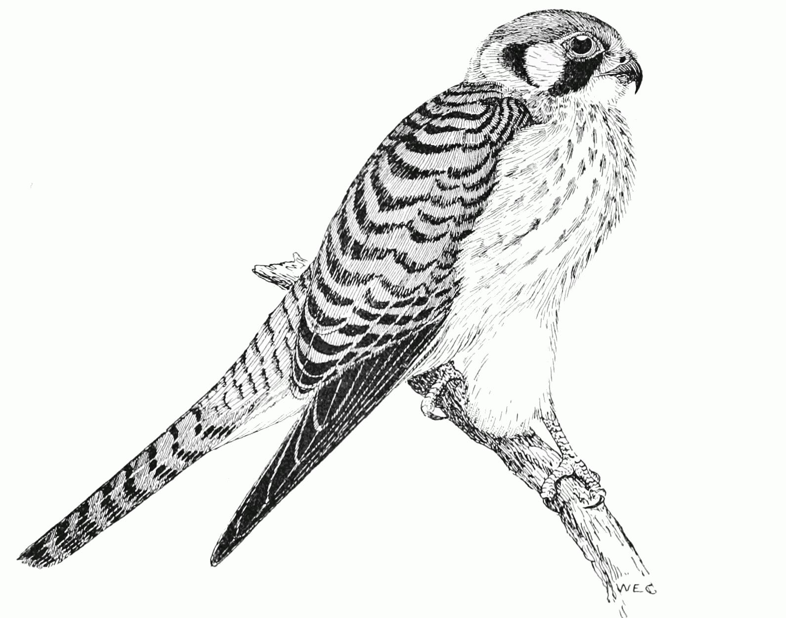 Sparrowhawk coloring #13, Download drawings