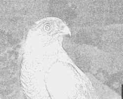 Sparrowhawk coloring #11, Download drawings