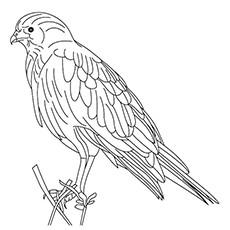 Sparrowhawk coloring #14, Download drawings