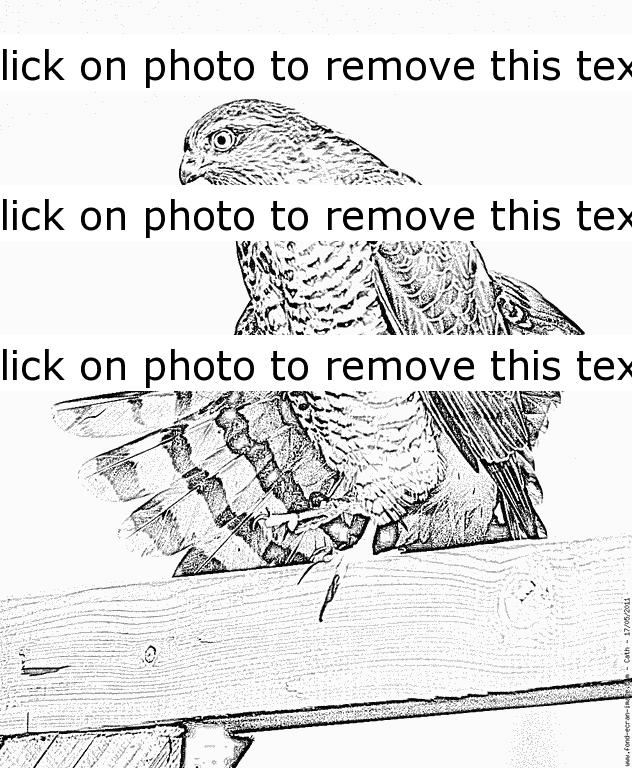 Sparrowhawk coloring #9, Download drawings