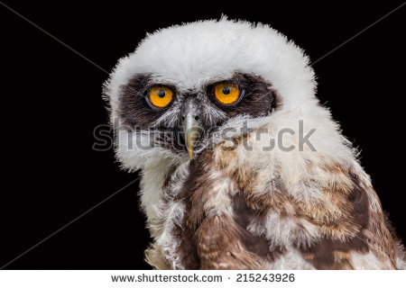 Spectacled Owl clipart #13, Download drawings