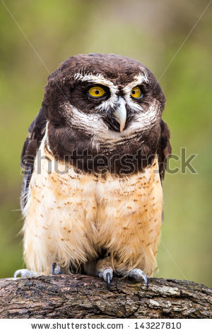 Spectacled Owl clipart #8, Download drawings