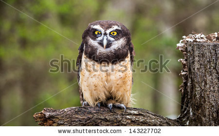 Spectacled Owl clipart #9, Download drawings