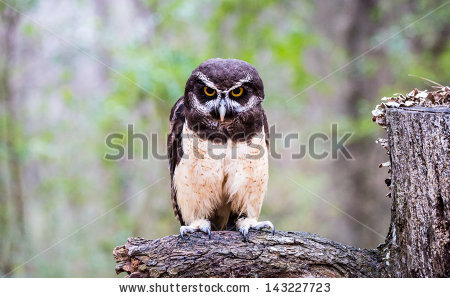 Spectacled Owl clipart #5, Download drawings