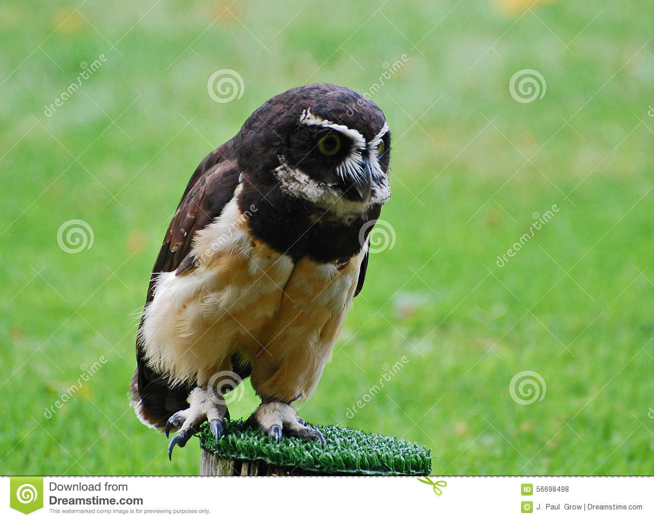 Spectacled Owl clipart #6, Download drawings