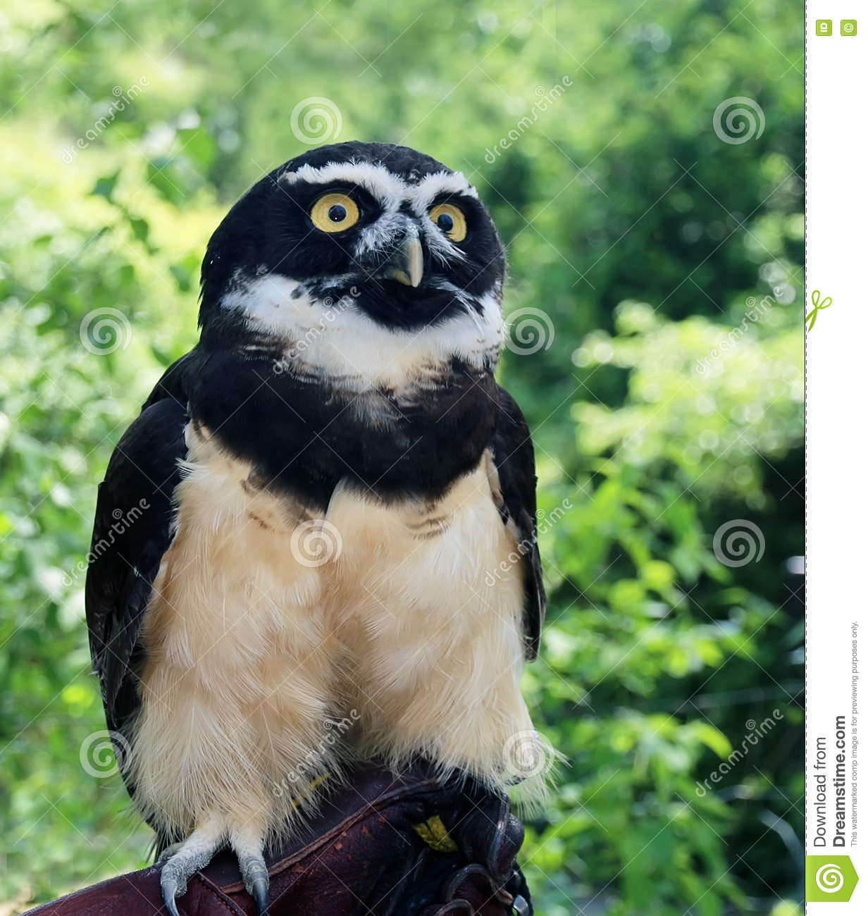 Spectacled Owl clipart #7, Download drawings