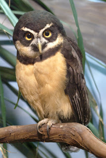 Spectacled Owl clipart #3, Download drawings