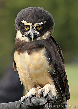 Spectacled Owl clipart #17, Download drawings