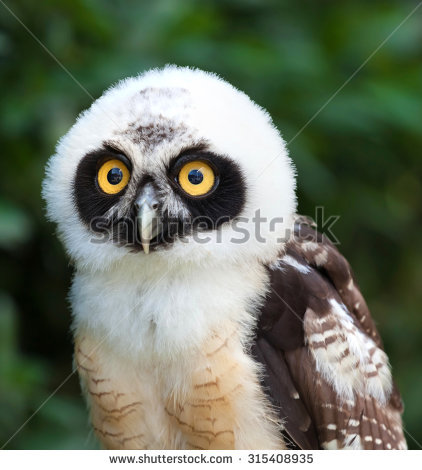 Spectacled Owl clipart #14, Download drawings