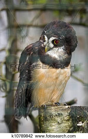 Spectacled Owl clipart #16, Download drawings