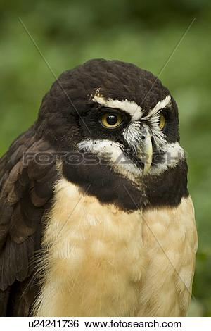 Spectacled Owl clipart #15, Download drawings