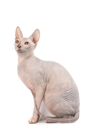 Sphynx Cat clipart #17, Download drawings